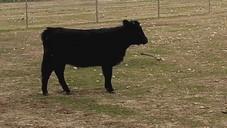 Avril notre petite vache Dexter de 6 mois