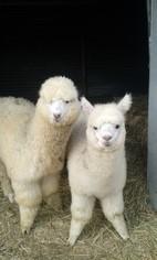 Les Alpagas  Lucas et Eliott